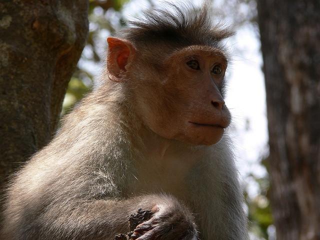Bonnet-Macaque-India-2