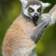 Posing Lemur in Saltzburg