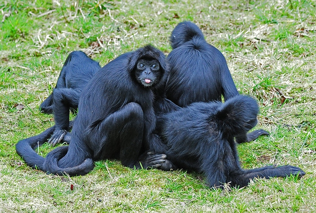 Colombian-Black-Faced-Spider-Monkey-Family