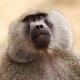 Baboon in Tanzania looking alert
