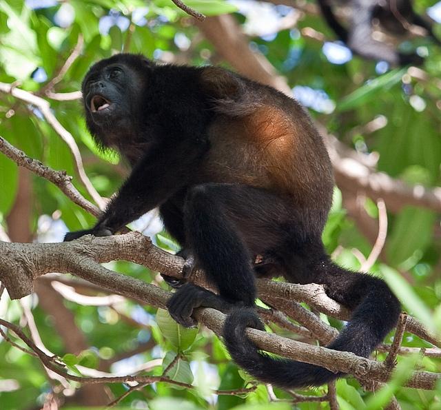 Mantled-Howler-Monkey