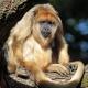 Grumpy looking Howler monkey