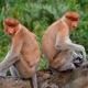 Proboscis-Monkeys-back-to-back
