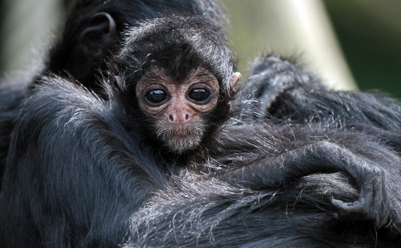 Baby Spider monkey surrounded by limbs