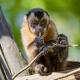Funny-capuchin-on-the-tree-1