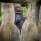 JJ the Lowland Gorilla