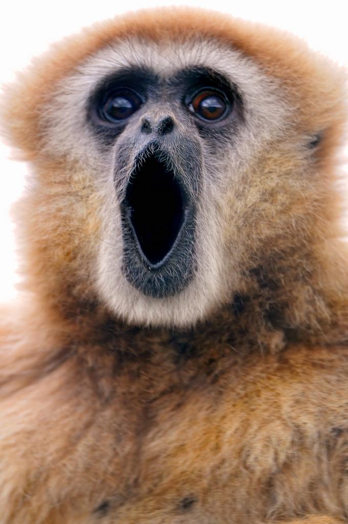 Singing-gibbon