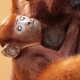 A red baby Howler monkey holds mum tight