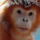 Full on Orange Langur monkey