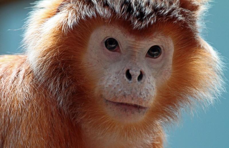 Full on Orange Langur monkey