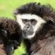Gibbon-Monkey-Withandgibbon-Beekse