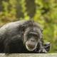 Chimpanzee resting on a tree