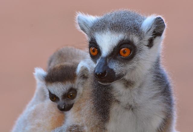 Ring-tailed-Lemurs