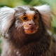 Portrait-of-a-cute-marmoset