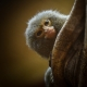 Pygmy Marmoset peering over at you