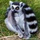 Up close with a ring-tailed lemur