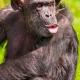 Singing-chimpanzee