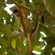 Squirrel-Monkey-Playing-Tree
