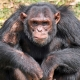 Chimpansee-Entebbe-zoo