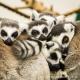 Group of sleeping ring-railed lemurs
