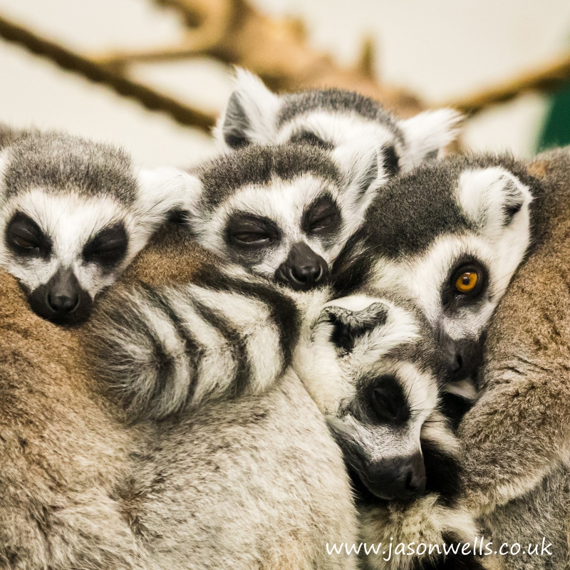 Group of sleeping ring-railed lemurs