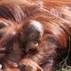 Baby Orangutan laying on mum