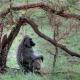 Tree-baboon