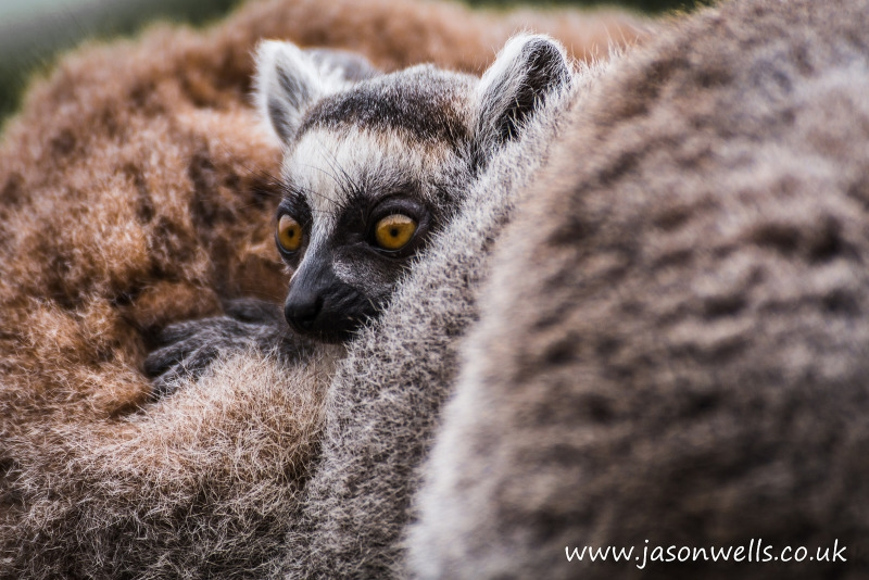 A baby Ring tailed lemur peeking its head out between its parents.