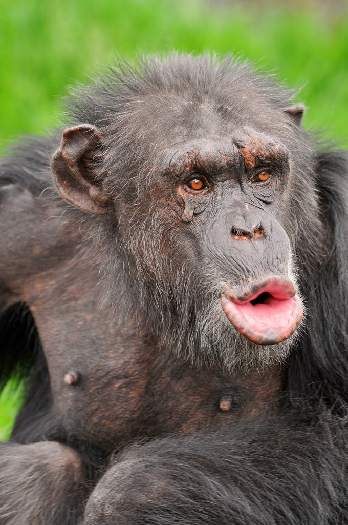 Older Chimpanzee stares out