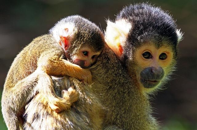 Squirrel-Monkeys-two
