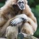Sitting-gibbon