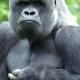 Gorilla-Makula
