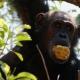 Completely wild Tanzanian chimpanzee