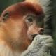 A Proboscisis monkey biting hard