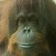 Dumpling the Orangutan