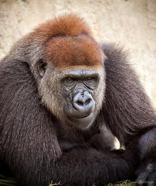 Gorilla in deep thought