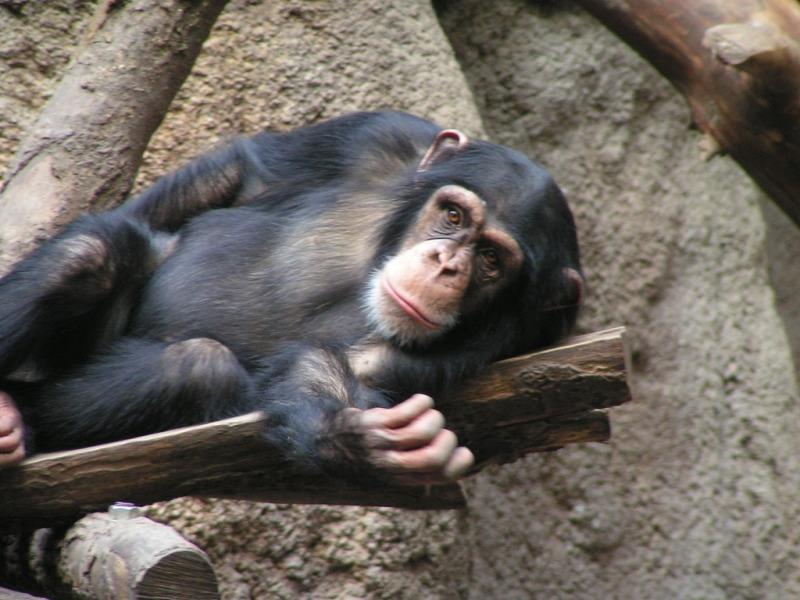 Resting Chimpanzee in Leipzig zoo