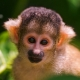 Young-squirrel-monkey