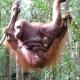 Semenggoh-Sarawak-Borneo