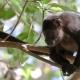 Lonley Howler monkey in a tree
