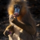 Mandrill a colourful monkey at Colchester Zoo