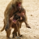 Baboon being carried home