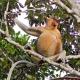 Næseabe-Proboscis-Monkey