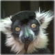Lemur..cant find my hairbrush!