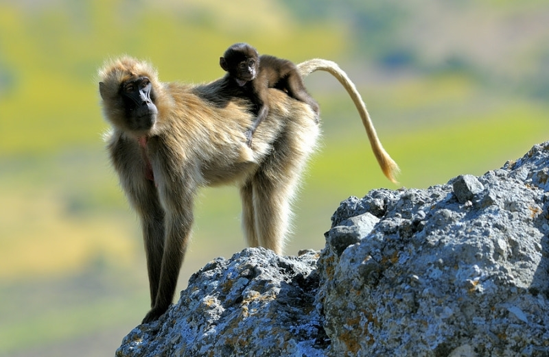 Ethiopia Baboon my baby just cares for me