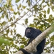 Male howler monkey in the trees