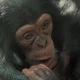 Ajani-Artis-chimp