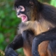 Spider-Monkey-mouth-open