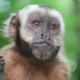 Capuchin Monkey closeup