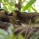Golden-Bamboo-Lemur